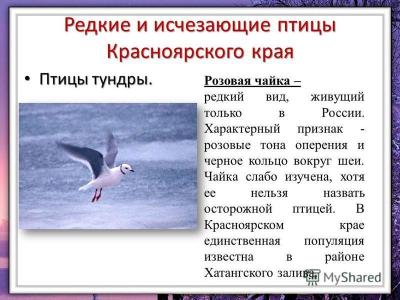 Редкие и исчезающие птицы Красноярского края Птицы тундры. Птицы тундры. Розовая чайка – редкий вид, живущий только в России. Характерный признак - розовые тона оперения и черное кольцо вокруг шеи. Чайка слабо изучена, хотя ее нельзя назвать осторожн
