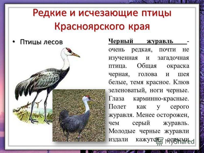 Редкие и исчезающие птицы Красноярского края Птицы лесов Птицы лесов Черный журавль - очень редкая, почти не изученная и загадочная птица. Общая окраска черная, голова и шея белые, темя красное. Клюв зеленоватый, ноги черные. Глаза карминно-красные.