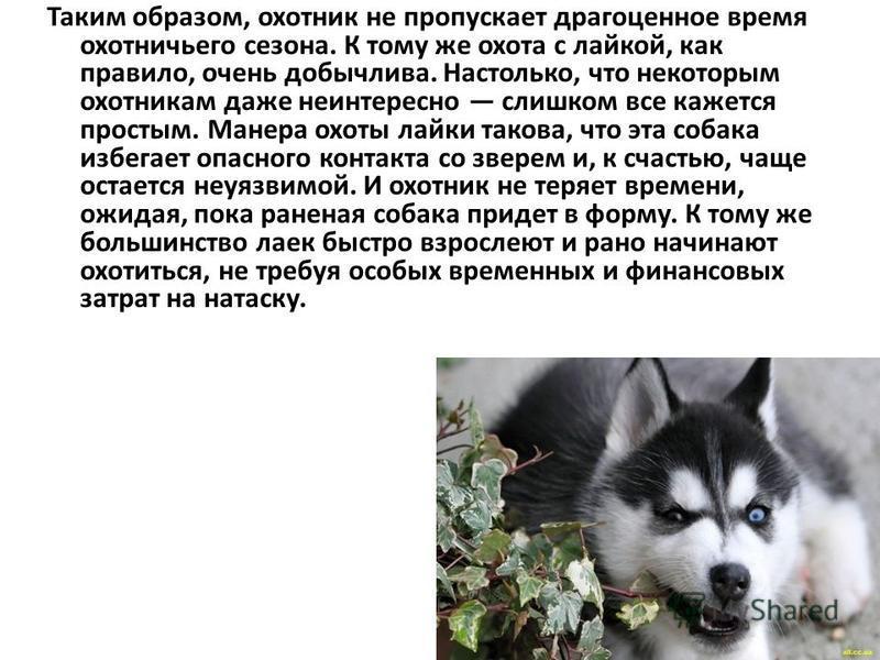 Джек - породы «Лайка» В последние годы такая порода собак, как лайка, приобретает все большую популярность. И это не удивительно – сильные, выносливые и неприхотливые собаки обладают незаурядным умом и устойчивым характером. Чего только стоят глаза л