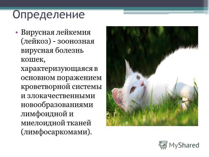 Определение Вирусная лейкемия (лейкоз) - зоонозная вирусная болезнь кошек, характеризующаяся в основном поражением кроветворной системы и злокачественными новообразованиями лимфоидной и миелоидной тканей (лимфосаркомами).