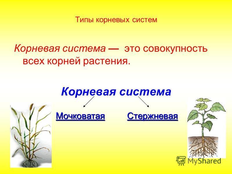 Типы корневых систем Корневая система это совокупность всех корней растения. Корневая система Стержневая Мочковатая