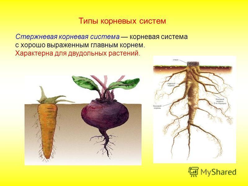 Стержневая корневая система корневая система с хорошо выраженным главным корнем. Характерна для двудольных растений. Типы корневых систем
