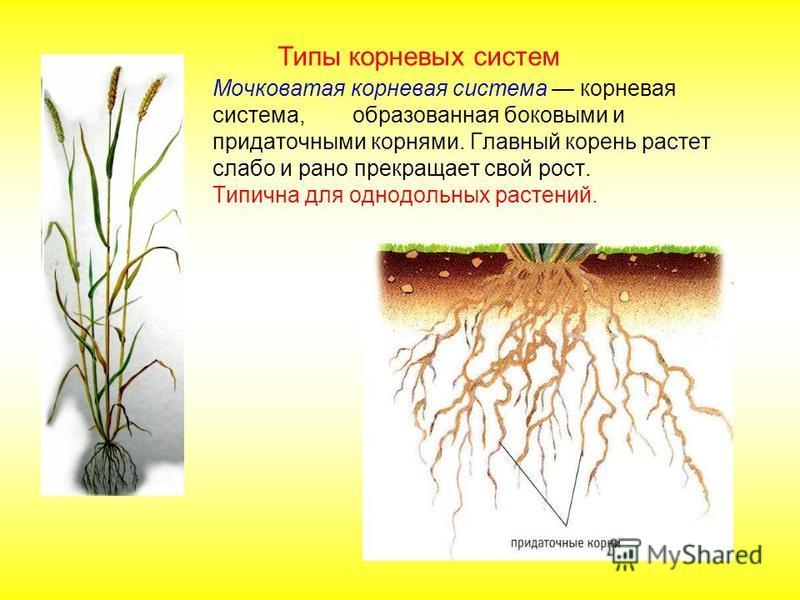 Мочковатая корневая система корневая система, образованная боковыми и придаточными корнями. Главный корень растет слабо и рано прекращает свой рост. Типична для однодольных растений. Типы корневых систем