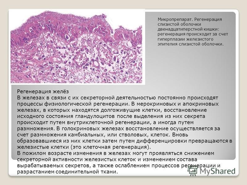 Регенерация желёз В железах в связи с их секреторной деятельностью постоянно происходят процессы физиологической регенерации. В мерокриновых и апокриновых железах, в которых находятся долгоживущие клетки, восстановление исходного состояния гландулоци