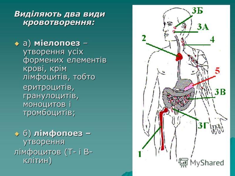 Виділяють два види кровотворення: а) міелопоез – утворення усіх формених елементів крові, крім лімфоцитів, тобто а) міелопоез – утворення усіх формених елементів крові, крім лімфоцитів, тобто еритроцитів, гранулоцитів, моноцитов і тромбоцитів; еритро