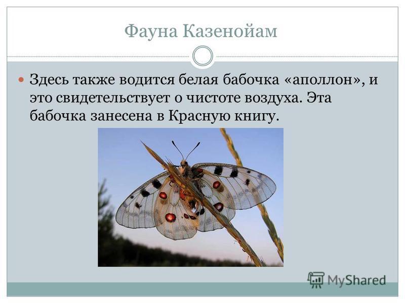 Здесь также водится белая бабочка «аполлон», и это свидетельствует о чистоте воздуха. Эта бабочка занесена в Красную книгу. Фауна Казенойам