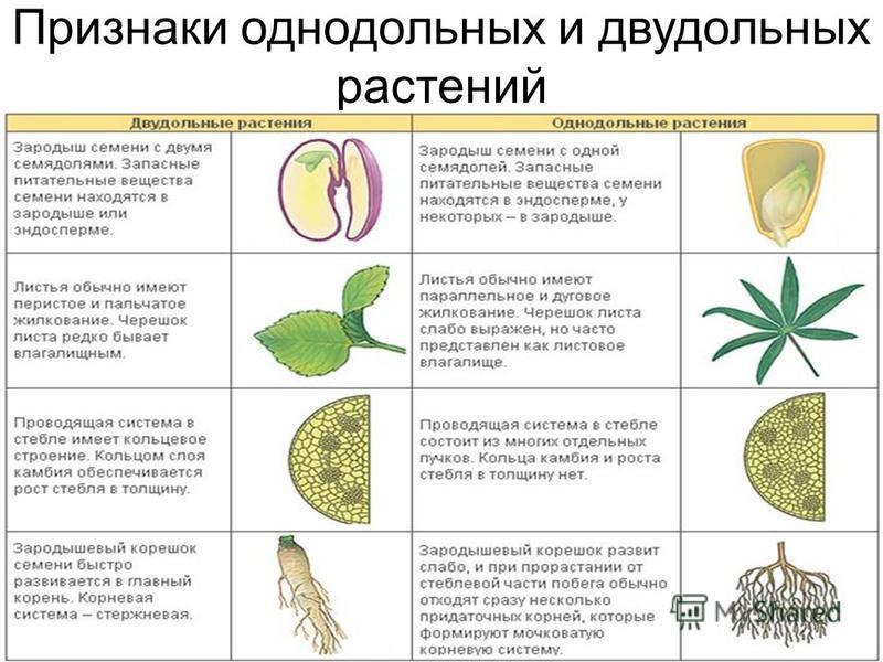 Признаки однодольных и двудольных растений