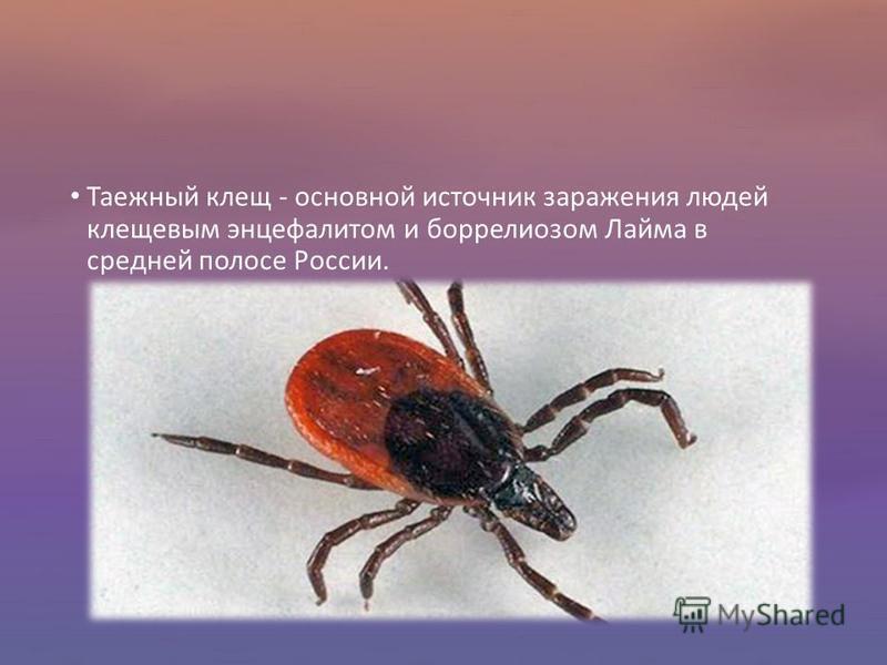 Таежный клещ - основной источник заражения людей клещевым энцефалитом и боррелиозом Лайма в средней полосе России.