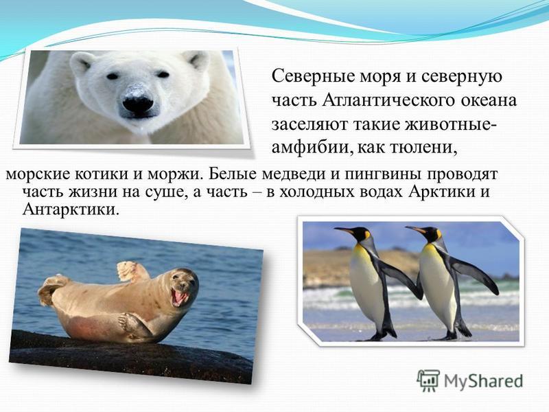 морские котики и моржи. Белые медведи и пингвины проводят часть жизни на суше, а часть – в холодных водах Арктики и Антарктики. Северные моря и северную часть Атлантического океана заселяют такие животные- амфибии, как тюлени,