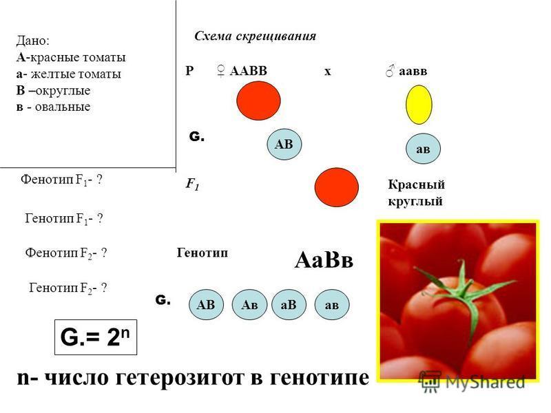 Дано: А-красные томаты а- желтые томаты В –округлые в - овальные Фенотип F 1 - ? Схема скрещивания Р ААВВ аввх АВ F1F1 ав G. Генотип F 1 - ? Фенотип F 2 - ? Генотип F 2 - ? Красный круглый Генотип Аа Вв G. АВАва Вав G.= 2 n n- число гетерозигот в ген