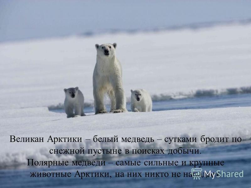 Великан Арктики – белый медведь – сутками бродит по снежной пустыне в поисках добычи. Полярные медведи – самые сильные и крупные животные Арктики, на них никто не нападает.