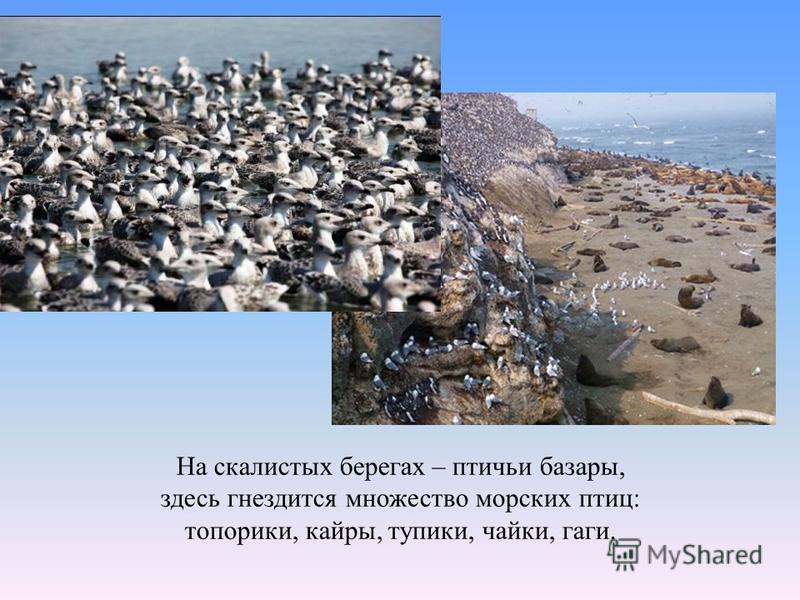 На скалистых берегах – птичьи базары, здесь гнездится множество морских птиц: топорики, кайры, тупики, чайки, гаги.