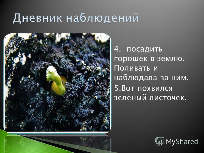 4. посадить горошек в землю. Поливать и наблюдала за ним. 5. Вот появился зелёный листочек.