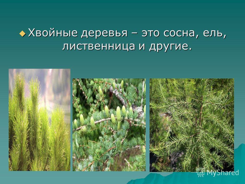Хвойные деревья – это сосна, ель, лиственница и другие. Хвойные деревья – это сосна, ель, лиственница и другие.