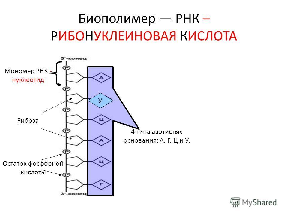 Биополимер РНК – РИБОНУКЛЕИНОВАЯ КИСЛОТА Мономер РНК - нуклеотид Рибоза Остаток фосфорной кислоты 4 типа азотистых основания: А, Г, Ц и У. У
