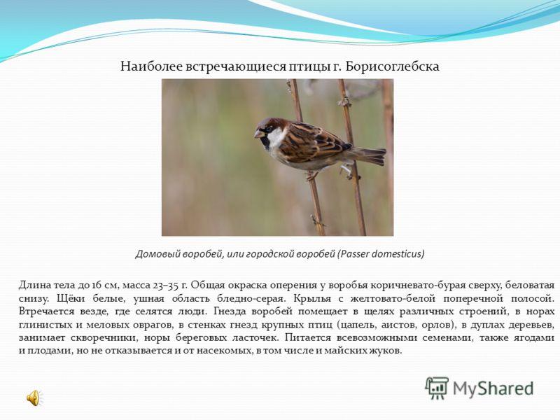 Наиболее встречающиеся птицы г. Борисоглебска Домовый воробей, или городской воробей (Passer domesticus) Длина тела до 16 см, масса 23–35 г. Общая окраска оперения у воробья коричневато-бурая сверху, беловатая снизу. Щёки белые, ушная область бледно-