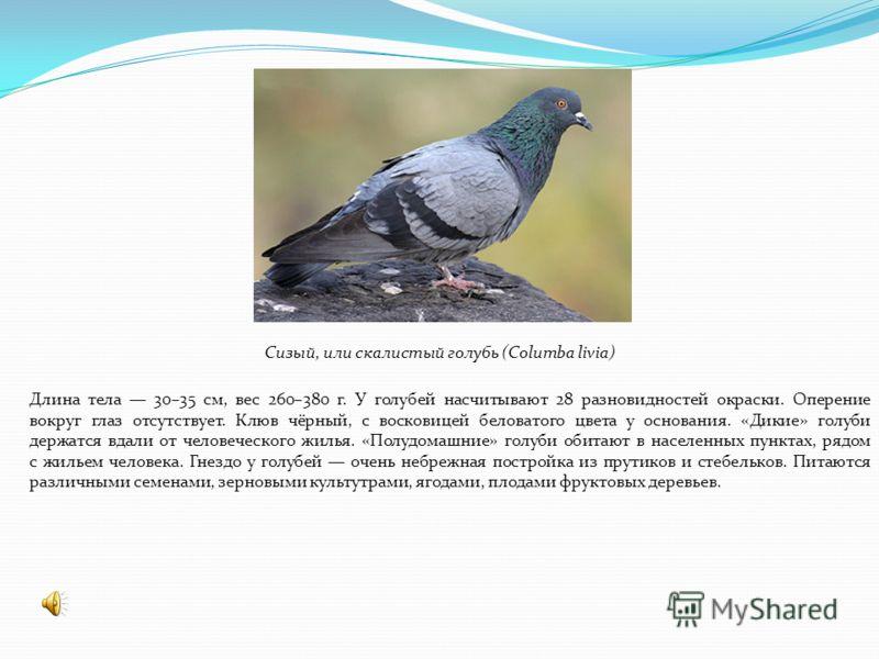 Сизый, или скалистый голубь (Columba livia) Длина тела 30–35 см, вес 260–380 г. У голубей насчитывают 28 разновидностей окраски. Оперение вокруг глаз отсутствует. Клюв чёрный, с восковицей беловатого цвета у основания. «Дикие» голуби держатся вдали о