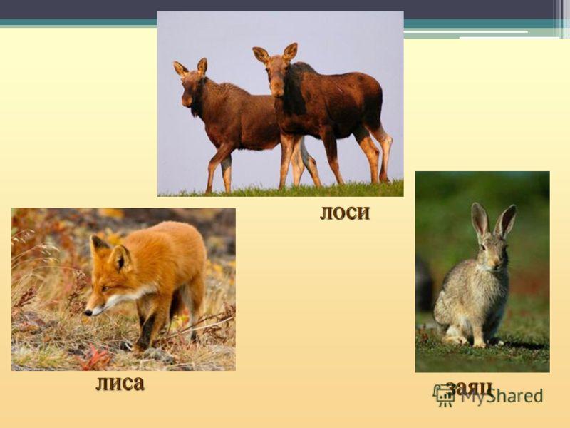 лиса лоси заяц