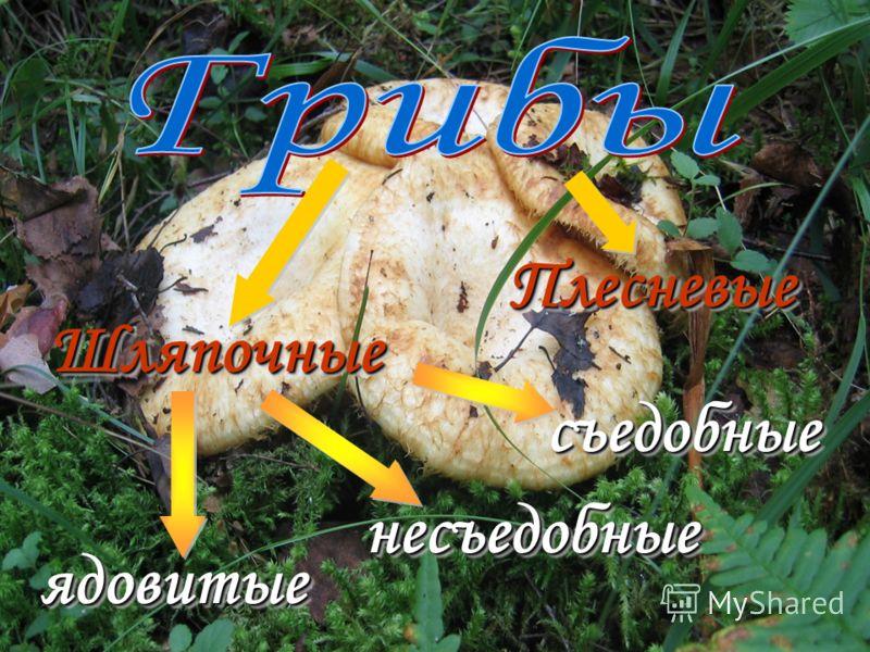 ШляпочныеШляпочные плодовое тело грибницагрибница