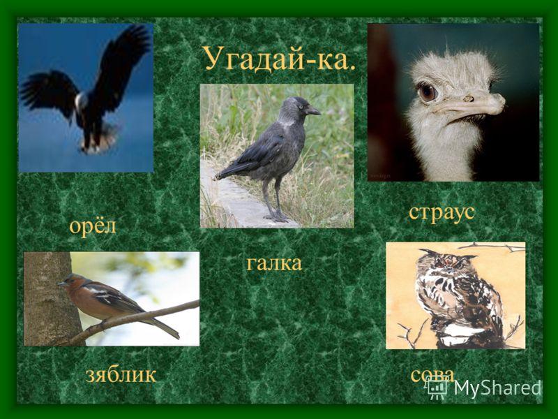 Угадай-ка. орёл галка страус зябликсова
