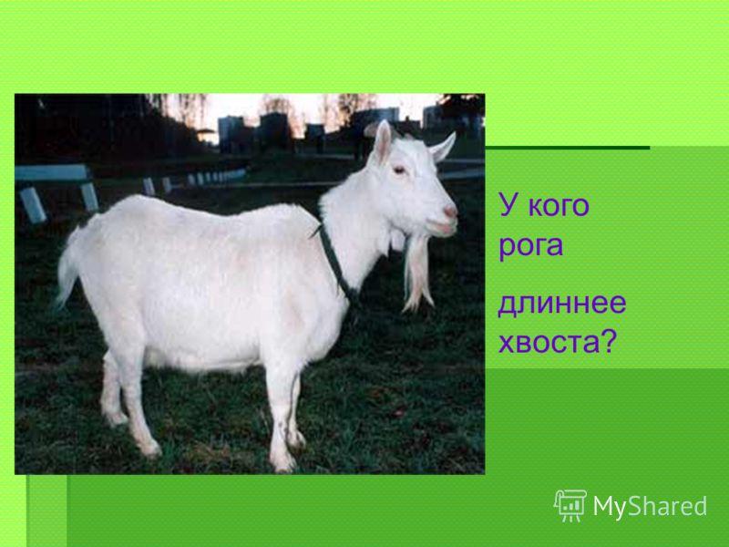 У кого рога длиннее хвоста?