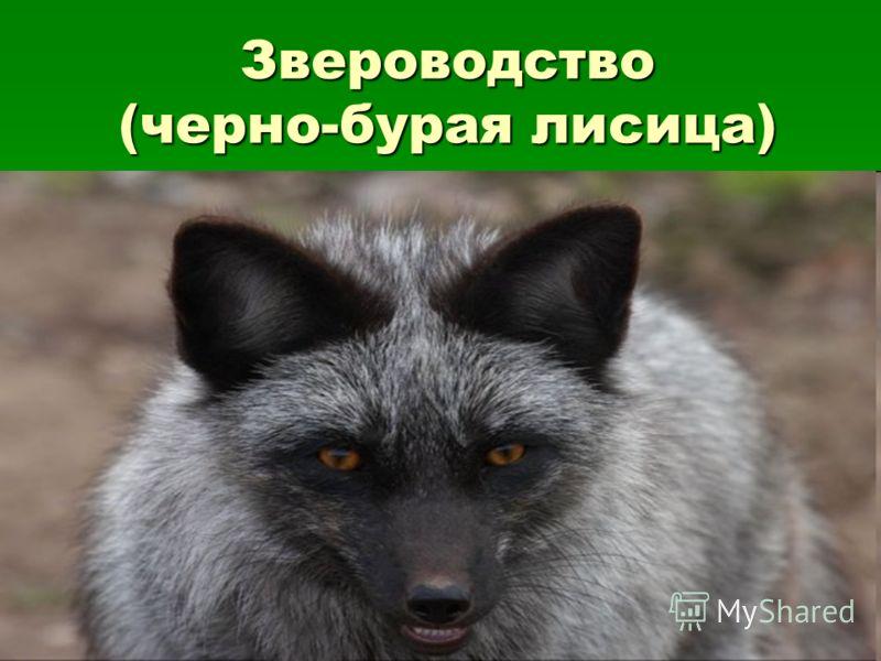 Звероводство (черно-бурая лисица)
