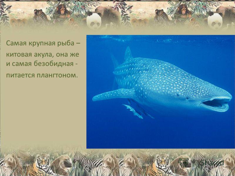 Самая крупная рыба – китовая акула, она же и самая безобидная - питается плангтоном.