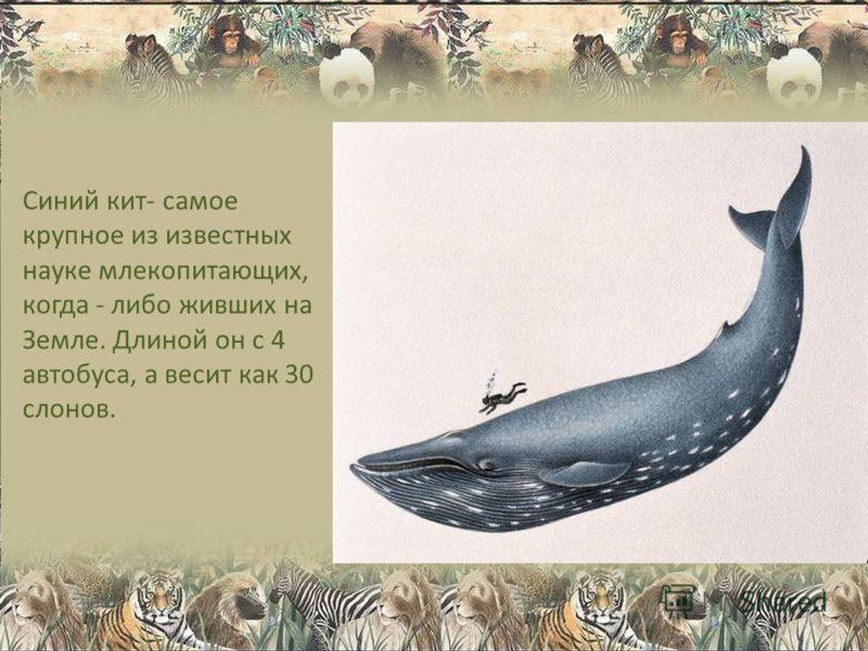 Синий кит- самое крупное из известных науке млекопитающих, когда - либо живших на Земле. Длиной он с 4 автобуса, а весит как 30 слонов.