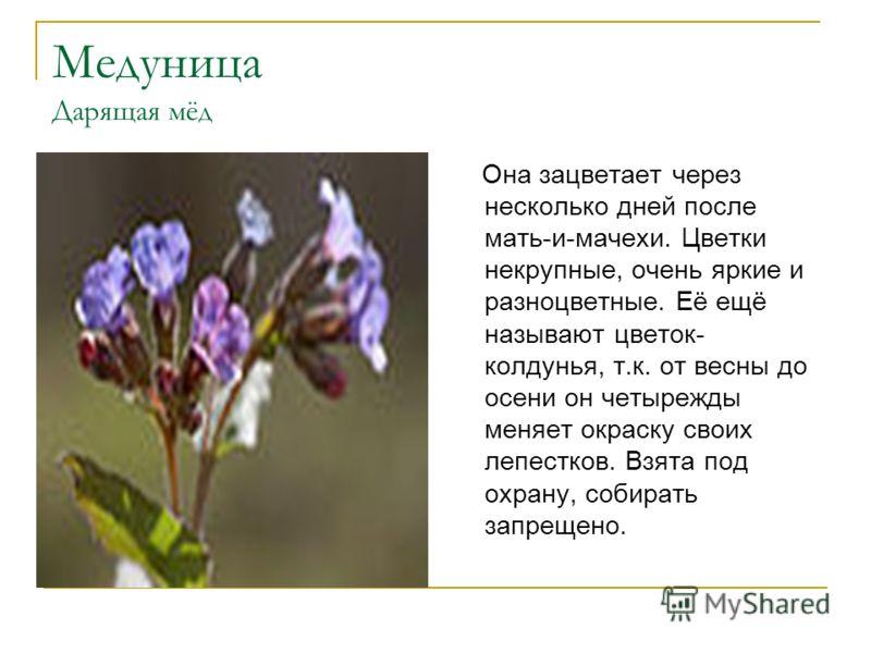Медуница Дарящая мёд Она зацветает через несколько дней после мать-и-мачехи. Цветки некрупные, очень яркие и разноцветные. Её ещё называют цветок- колдунья, т.к. от весны до осени он четырежды меняет окраску своих лепестков. Взята под охрану, собират