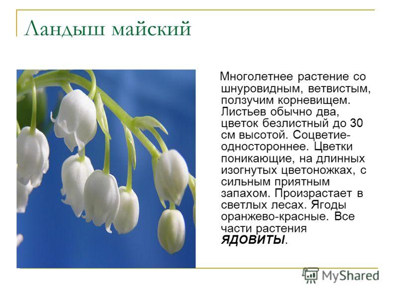 Ландыш майский Многолетнее растение со шнуровидным, ветвистым, ползучим корневищем. Листьев обычно два, цветок безлистный до 30 см высотой. Соцветие- одностороннее. Цветки поникающие, на длинных изогнутых цветоножках, с сильным приятным запахом. Прои