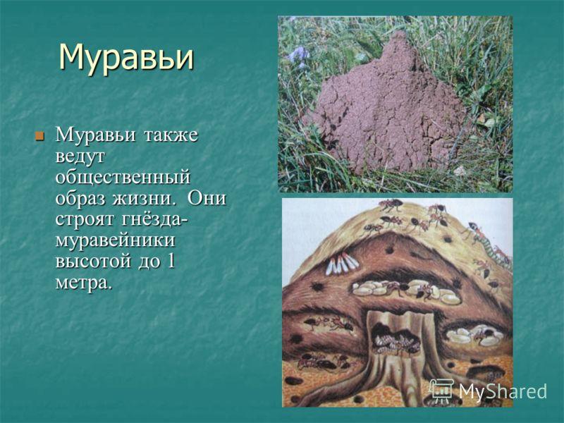 Муравьи Муравьи также ведут общественный образ жизни. Они строят гнёзда- муравейники высотой до 1 метра. Муравьи также ведут общественный образ жизни. Они строят гнёзда- муравейники высотой до 1 метра.