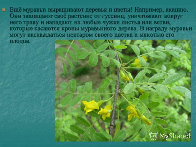 Ещё муравьи выращивают деревья и цветы! Например, акацию. Они защищают своё растение от гусениц, уничтожают вокруг него траву и нападают на любые чужие листья или ветви, которые касаются кроны муравьиного дерева. В награду муравьи могут наслаждаться