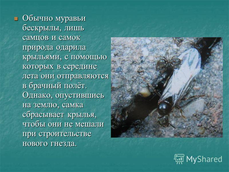 Обычно муравьи бескрылы, лишь самцов и самок природа одарила крыльями, с помощью которых в середине лета они отправляются в брачный полёт. Однако, опустившись на землю, самка сбрасывает крылья, чтобы они не мешали при строительстве нового гнезда. Обы