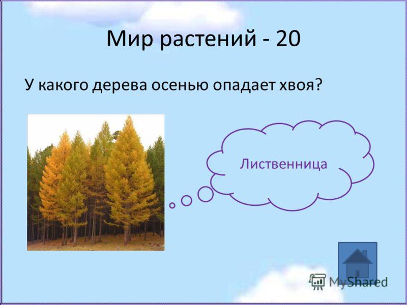 Мир растений - 20 У какого дерева осенью опадает хвоя? Лиственница