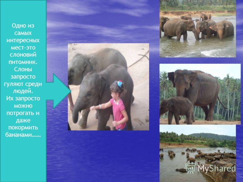 Одно из самых интересных мест-это слоновий питомник. Слоны запросто гуляют среди людей. Их запросто можно потрогать и даже покормить бананами……