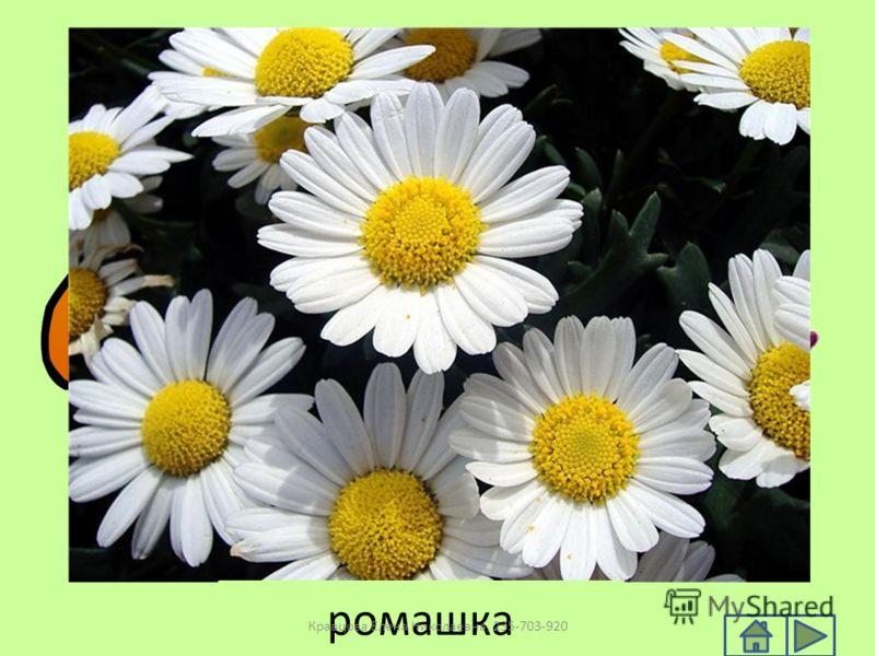 ромашка Кравцова Елена Николаевна, 235-703-920