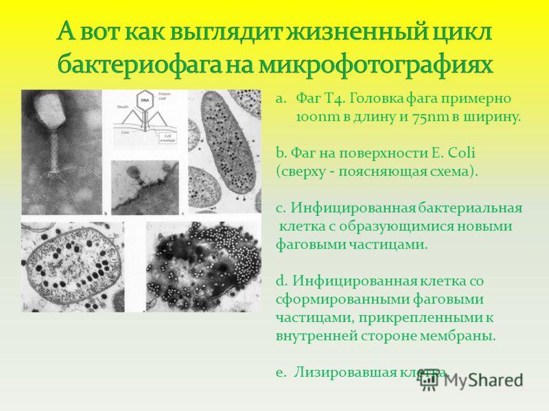 a.Фаг Т4. Головка фага примерно 100nm в длину и 75nm в ширину. b. Фаг на поверхности E. Coli (сверху - поясняющая схема). c. Инфицированная бактериальная клетка с образующимися новыми фаговыми частицами. d. Инфицированная клетка со сформированными фа