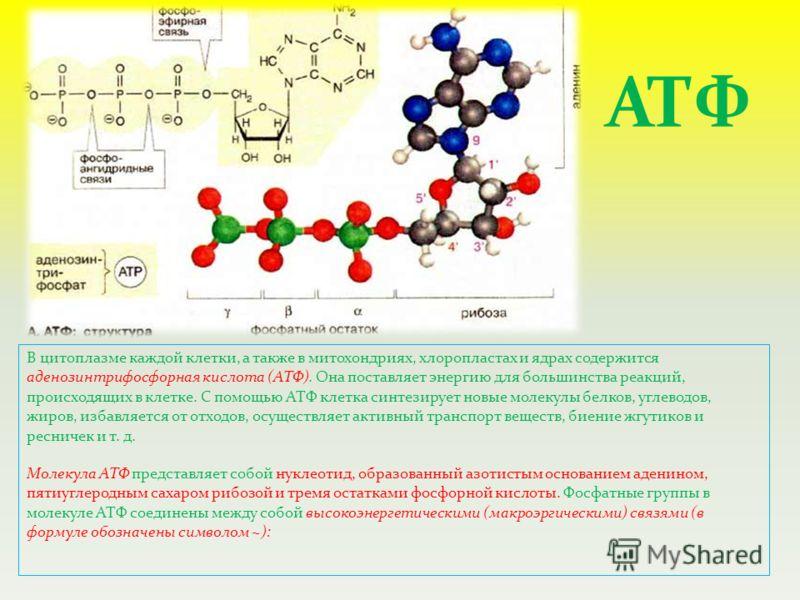В цитоплазме каждой клетки, а также в митохондриях, хлоропластах и ядрах содержится аденозинтрифосфорная кислота (АТФ). Она поставляет энергию для большинства реакций, происходящих в клетке. С помощью АТФ клетка синтезирует новые молекулы белков, угл