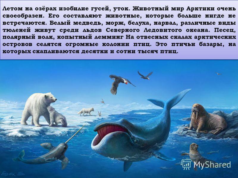 Летом на озёрах изобилие гусей, уток. Животный мир Арктики очень своеобразен. Его составляют животные, которые больше нигде не встречаются. Белый медведь, морж, белуха, нарвал, различные виды тюленей живут среди льдов Северного Ледовитого океана. Пес