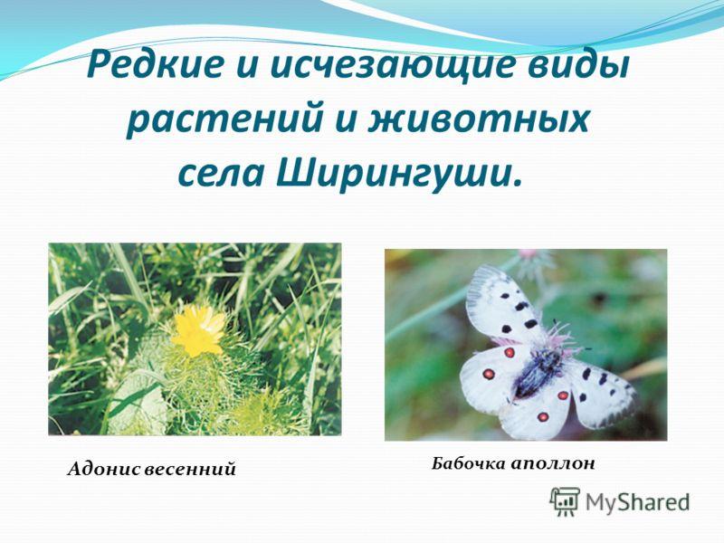 Редкие и исчезающие виды растений и животных села Ширингуши. Адонис весенний Бабочка аполлон