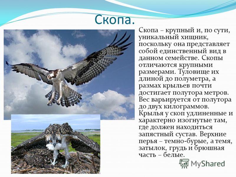 Скопа. Скопа – крупный и, по сути, уникальный хищник, поскольку она представляет собой единственный вид в данном семействе. Скопы отличаются крупными размерами. Туловище их длиной до полуметра, а размах крыльев почти достигает полутора метров. Вес ва