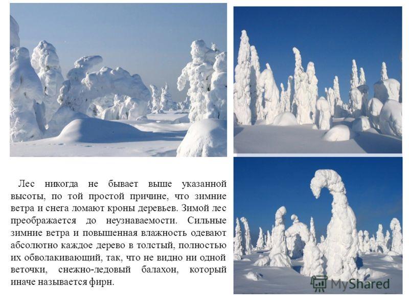 Лес никогда не бывает выше указанной высоты, по той простой причине, что зимние ветра и снега ломают кроны деревьев. Зимой лес преображается до неузнаваемости. Сильные зимние ветра и повышенная влажность одевают абсолютно каждое дерево в толстый, пол