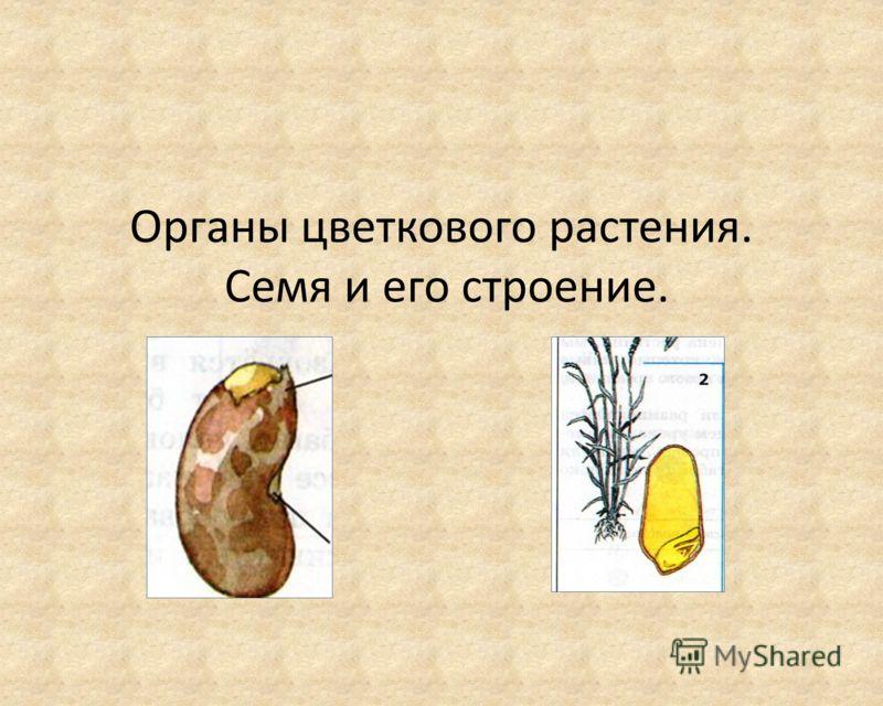 Органы цветкового растения. Семя и его строение.