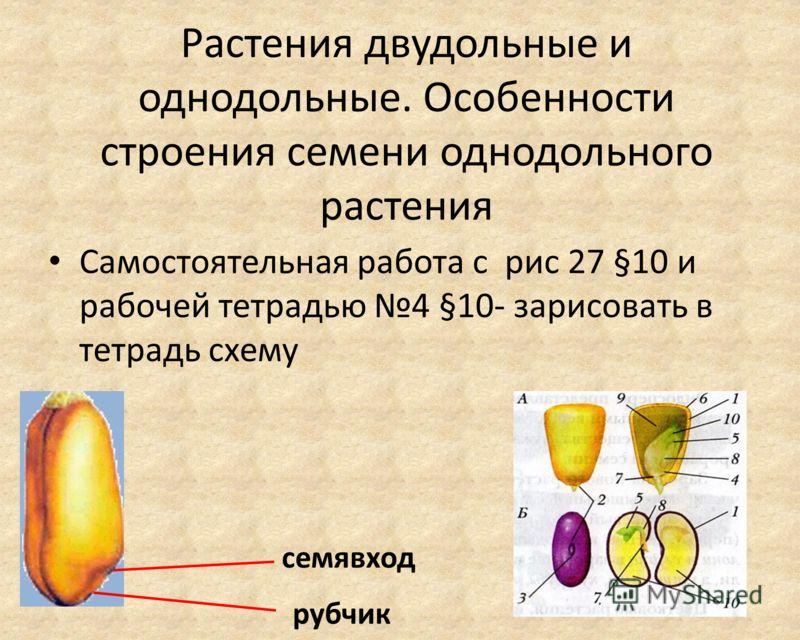 Растения двудольные и однодольные. Особенности строения семени однодольного растения Самостоятельная работа с рис 27 §10 и рабочей тетрадью 4 §10- зарисовать в тетрадь схему рубчик семявход