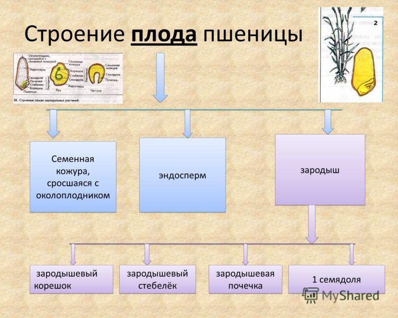 Строение плода пшеницы Семенная кожура, сросшаяся с околоплодником эндосперм зародыш зародыш зародышевый корешок зародышевый корешок зародышевый стебелёк зародышевый стебелёк зародышевая почечка зародышевая почечка 1 семядоля 1 семядоля
