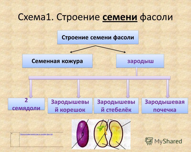 Схема1. Строение семени фасоли 2 семядоли Зародышевы й корешок Зародышевы й стебелёк Зародышевая почечка Строение семени фасоли Семенная кожура зародыш 4 Питательные вещества в семени фасоли