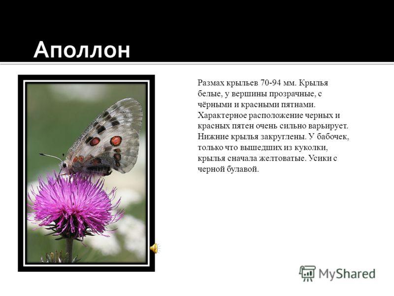 Одна из самых красивых бабочек европейской части России, сверху красно-бурого цвета с одним большим пестрым глазчатым пятном у переднего угла каждого крыла и одноцветным черно-серым краем, снизу черного цвета. Как и прочие виды рода Vanessa, зимует в