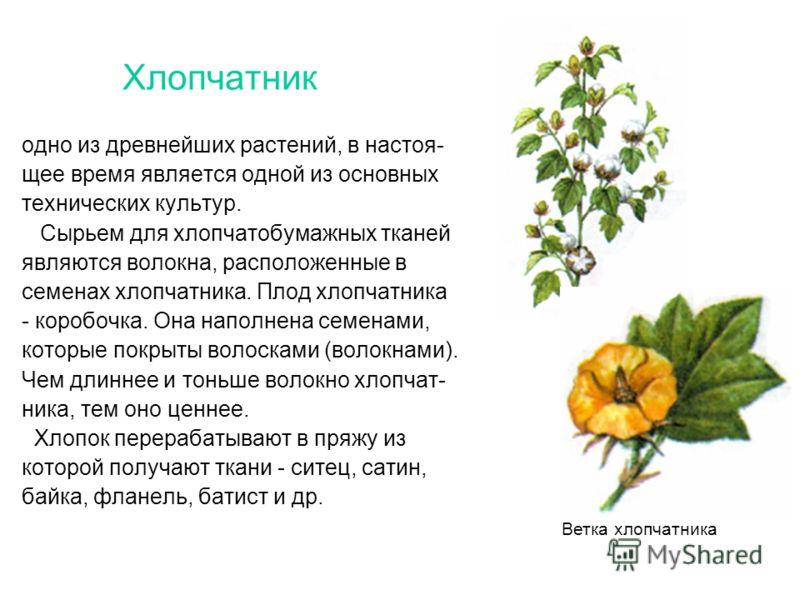 Хлопчатник одно из древнейших растений, в настоя- щее время является одной из основных технических культур. Сырьем для хлопчатобумажных тканей являются волокна, расположенные в семенах хлопчатника. Плод хлопчатника - коробочка. Она наполнена семенами