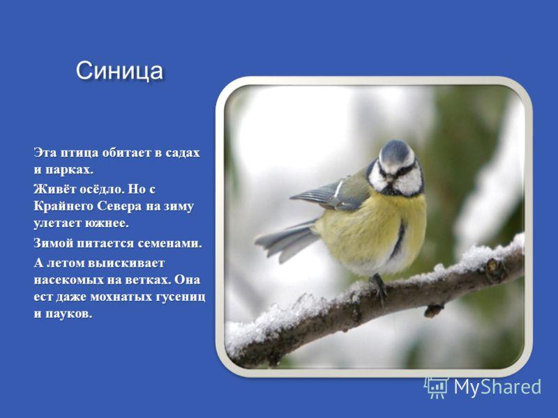 Синица Эта птица обитает в садах и парках. Живёт осёдло. Но с Крайнего Севера на зиму улетает южнее. Зимой питается семенами. А летом выискивает насекомых на ветках. Она ест даже мохнатых гусениц и пауков.