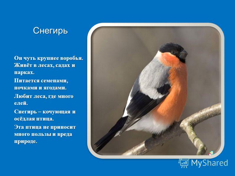 Снегирь Он чуть крупнее воробья. Живёт в лесах, садах и парках. Питается семенами, почками и ягодами. Любит леса, где много елей. Снегирь – кочующая и осёдлая птица. Эта птица не приносит много пользы и вреда природе.